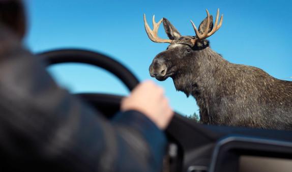 В Канаде лось помог Полиции раскрыть преступление