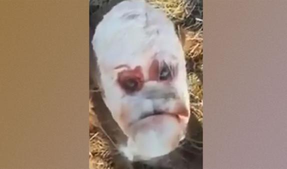 """Теленок с """"человеческим лицом"""" появился на свет в Аргентине"""